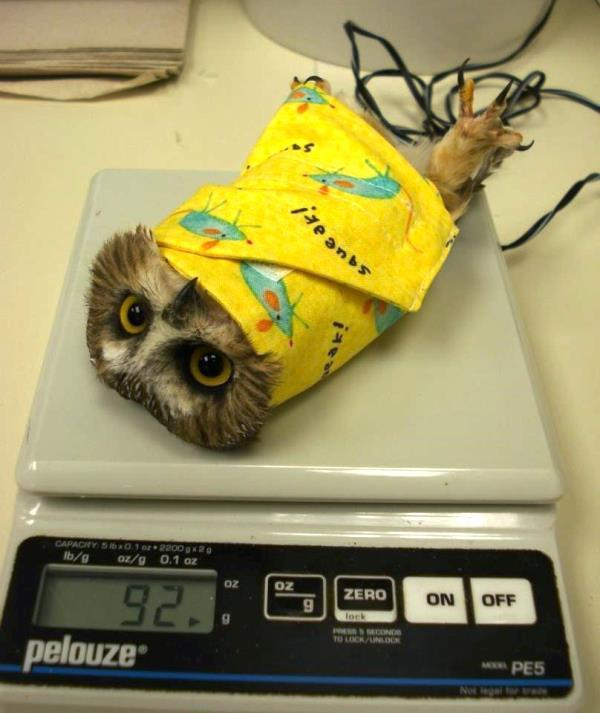 best viral pictures weigh an owl The Best Viral Pictures Of The Week, Volume 9