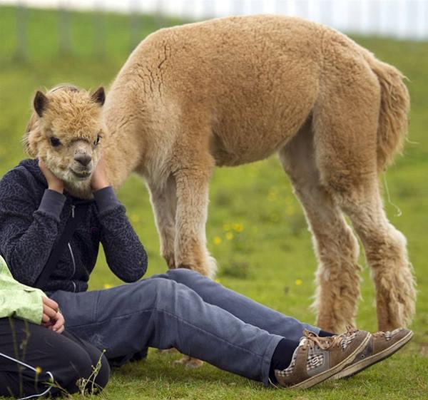 Llama Photobomb